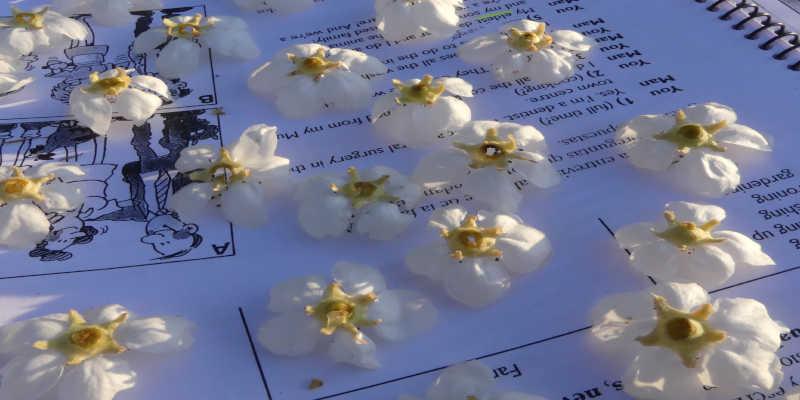 Regogiendo y secando flores